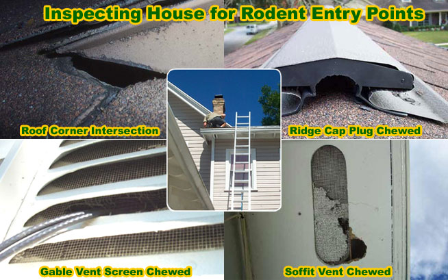 how to prevent rats in home naturally by inspecting the house for rodent entry points