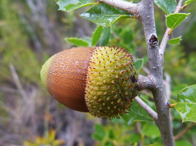 Acorn For Good Luck