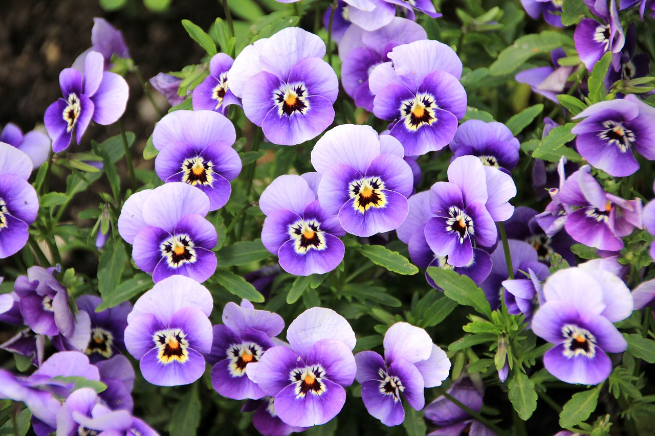 violet colored flowers