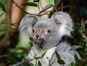 grey koala bear