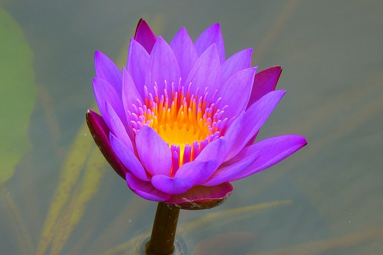 violet colored water lily
