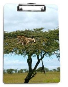 Lions in Tree Clipboard