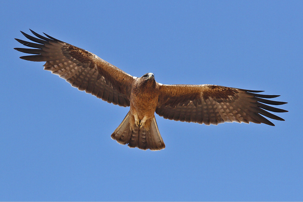 Booted Eagle | Gran Alacant Advertiser