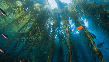 We identify local projects such as The Bay Foundation's Bring Back the Kelp Forests of the Bay April 2019 Kelp Restoration Campaign that help reduce atmospheric CO2 to fight global warming and climate change in Santa Monica Bay, CA