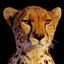 Cheetah: Python-Powered Template Engine