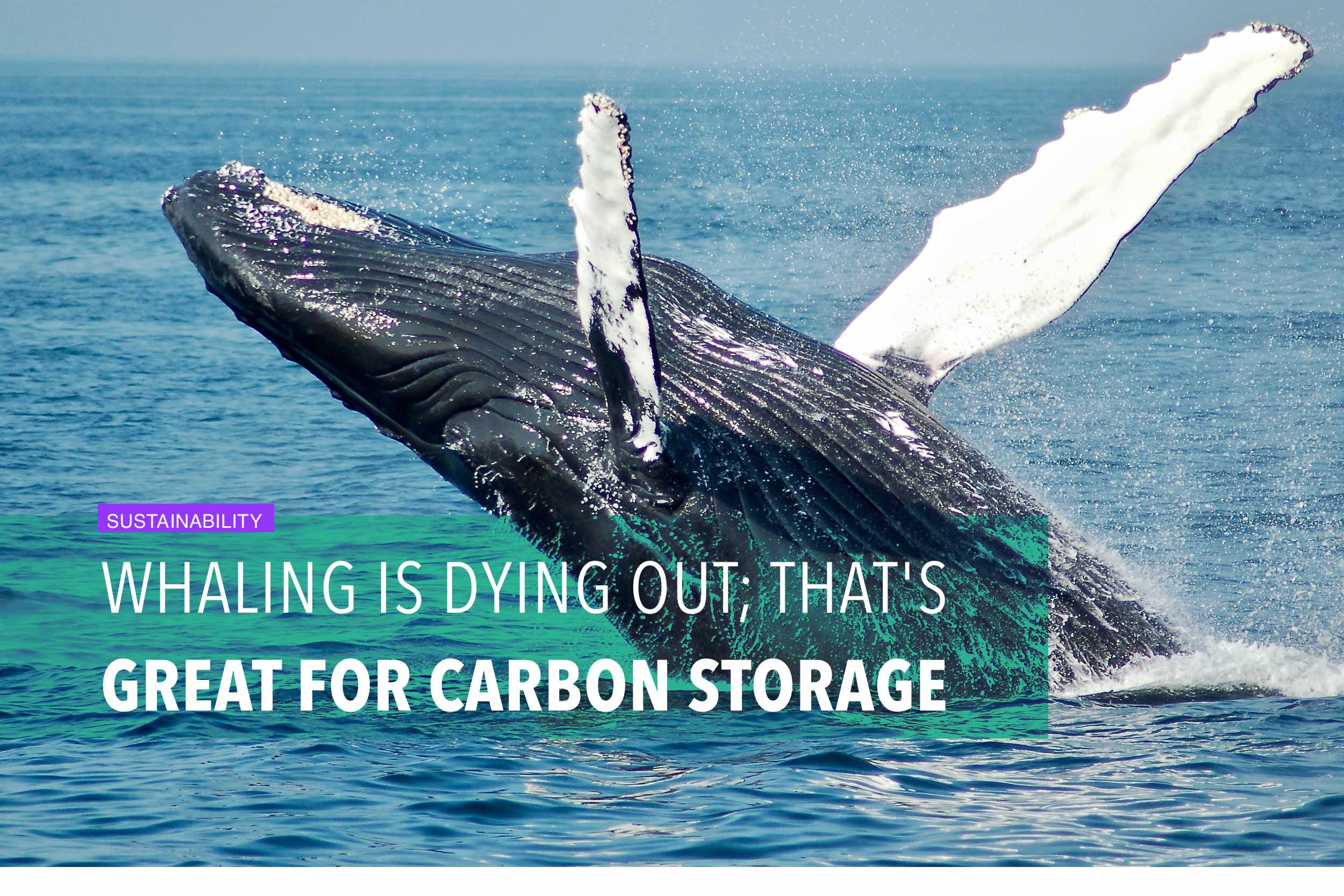 Whaling is dying out; that's great for carbon storage