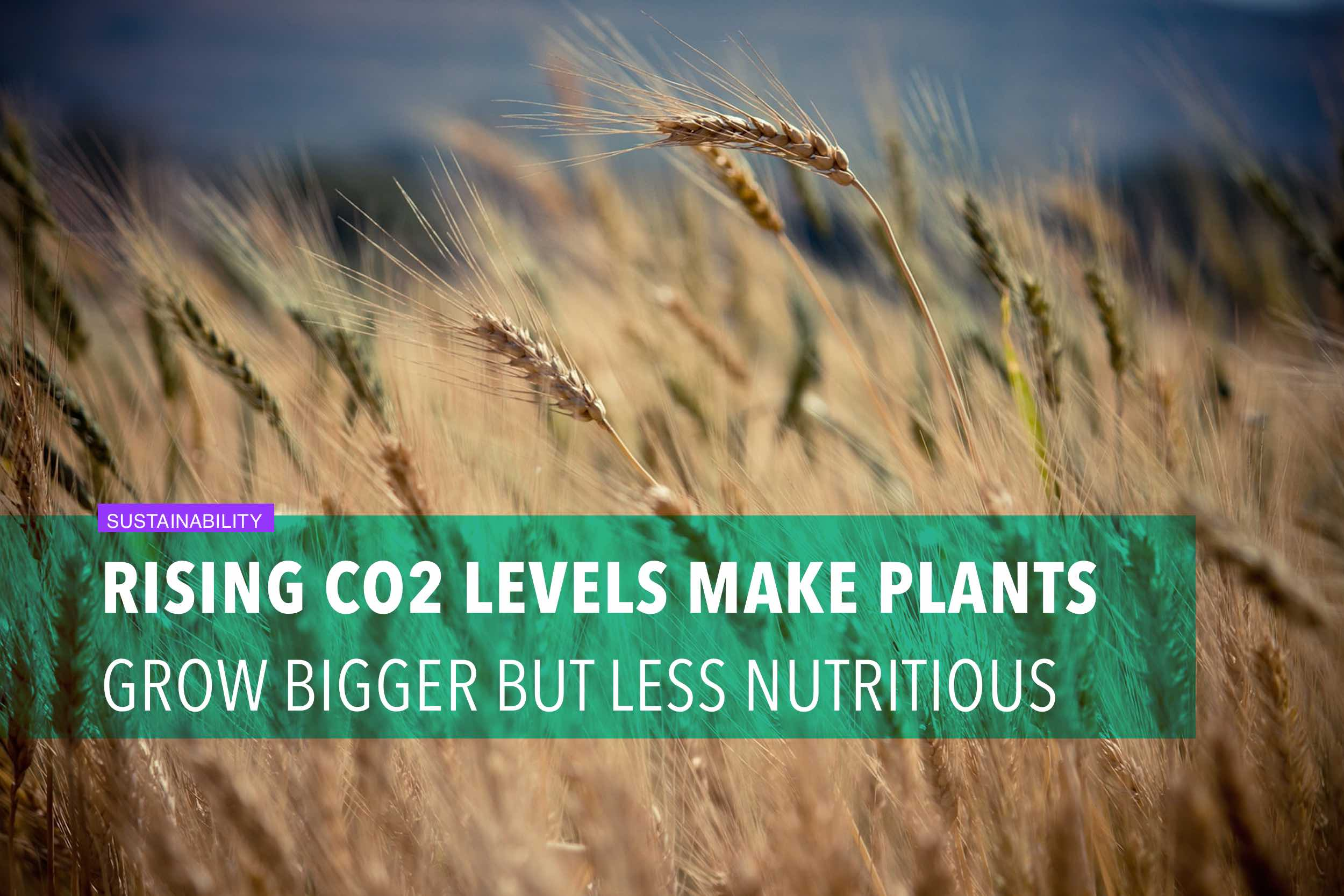 Rising CO2 levels make plants grow bigger but less nutritious