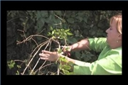 Video How To Prune Lilac Bushes Ehow