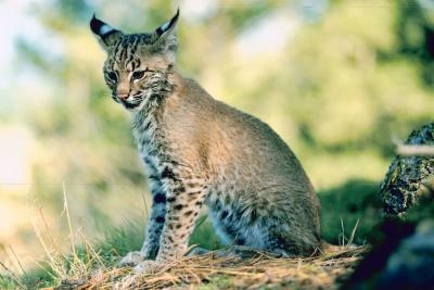 Facts On Wild Bobcats In Florida Sciencing