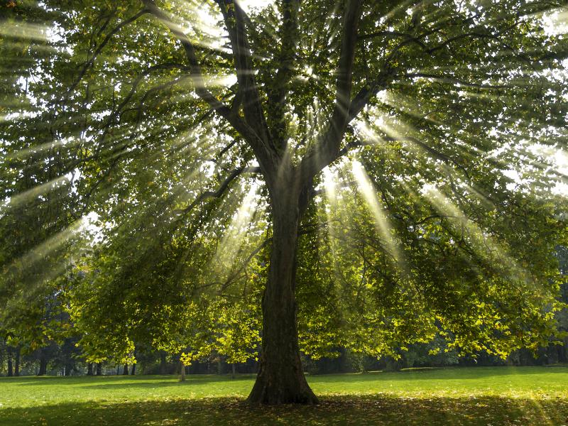 What Does The Sycamore Tree Symbolize Our Everyday Life