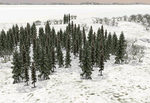 Tall_pines_winter_snow_light-ls