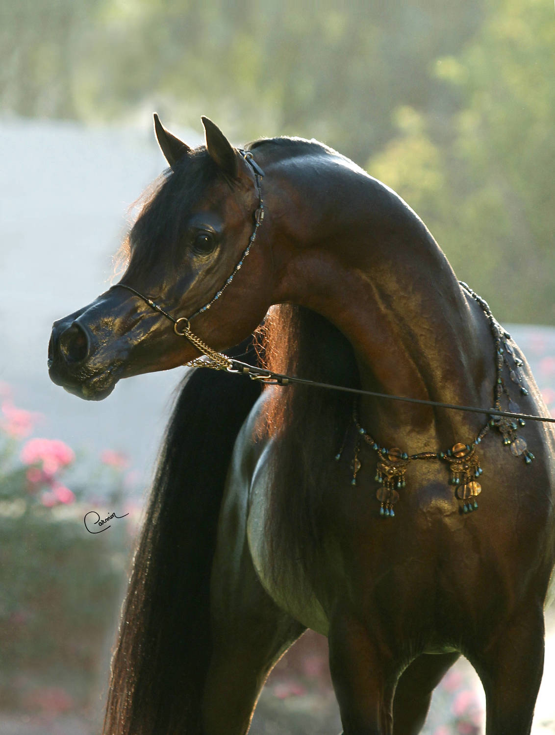 Kahil Al Shaqab Arabian Horse Association Of Arizona