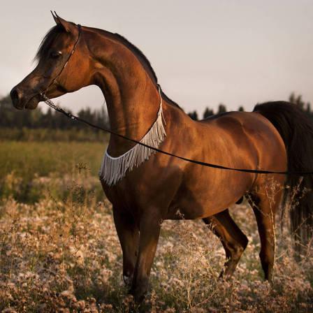 Marajj The Arabian Breeders World Cup Arabian Horse