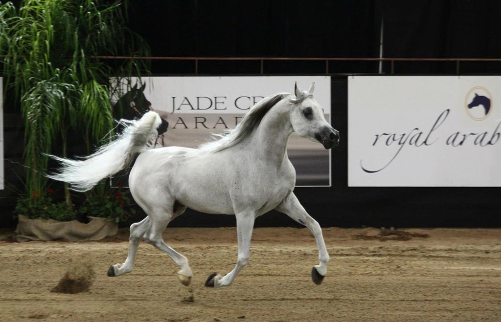 Arabian Horse Images Arabian Horse H...