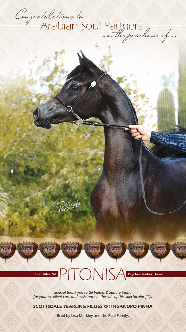 Forever Mi Lov Arabian Horses Stallions Farms Arabians Horses For Sale Arabian Horse Network