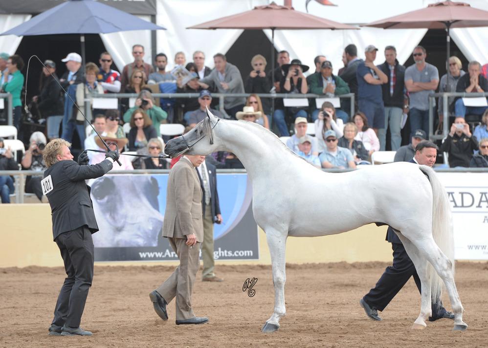 Champion Stallion: Hariry Al Shaqab (Marwan Al Shaqab X White Silkk)