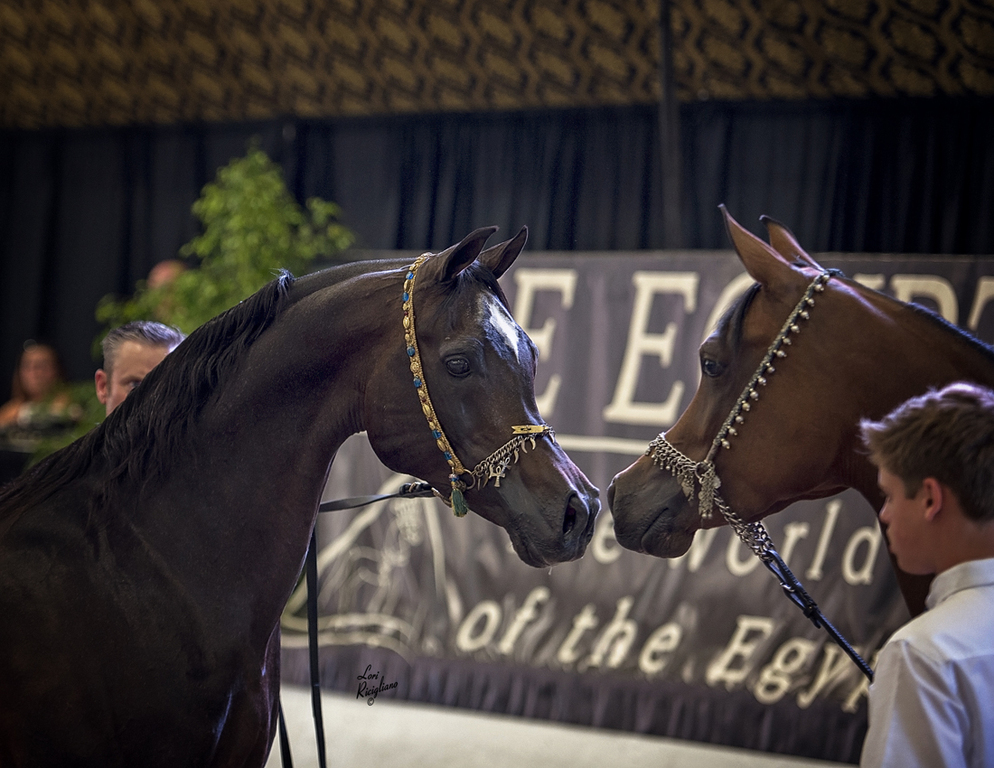 Egyptian Breeders Challenge: Live Stallion Auction. Photo by Lori Ricigliano