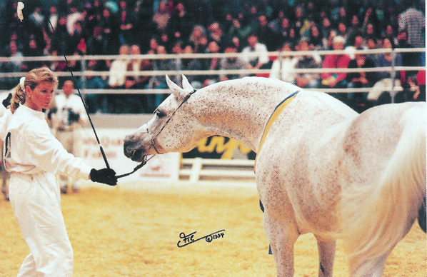 Eileen Verdieck showing Imperial Phanilah became Al Shaqab's first World Champion...photo by Irina Filsinger, furnished by Eileen Verdieck.