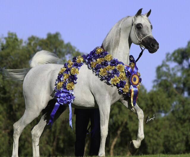 The 2012 Egyptian Event Senior Stallion Gold Champion: Hadban Al Shaqab...photo by Darryl Larson