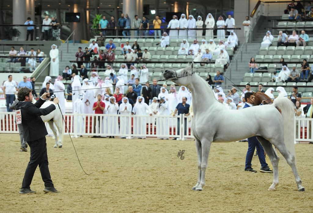 Giacomo Capacci showing World Champion Hariry Al Shaqab once again at the 2016 Qatar International show where he was also Champion Stallion...photo by Lisa Abraham