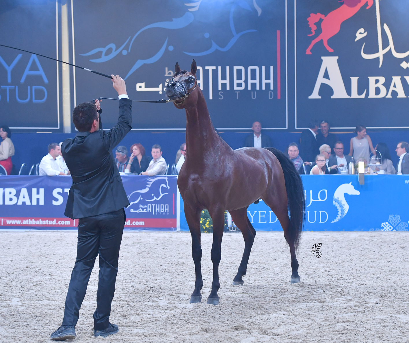 FA El Rasheem being presented by Paolo Capeci as a breeding, donated by the Dubai Arabian Stud, was being auctioned off for charity