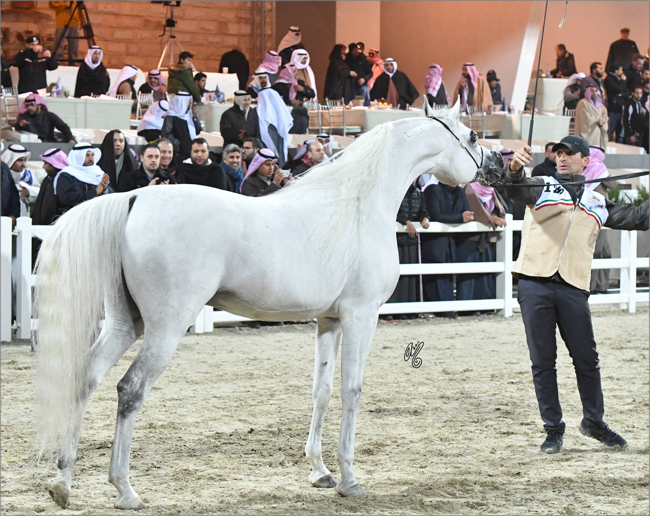 Senior Stallion Gold Champion: Adham Saqr (Imperial Madori X Ameera Saqr)