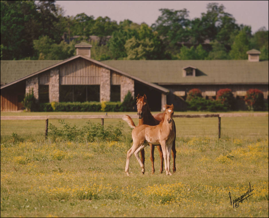 Ansata Arabian Stud: Ansata Samantha & Ansata Sokar in Front of the Show Barn. Photo by Jerry Sparagowski