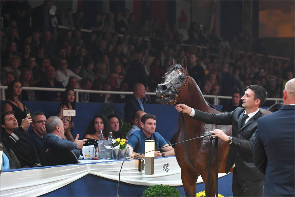 FA El Rasheem being presented at the European Select Sale