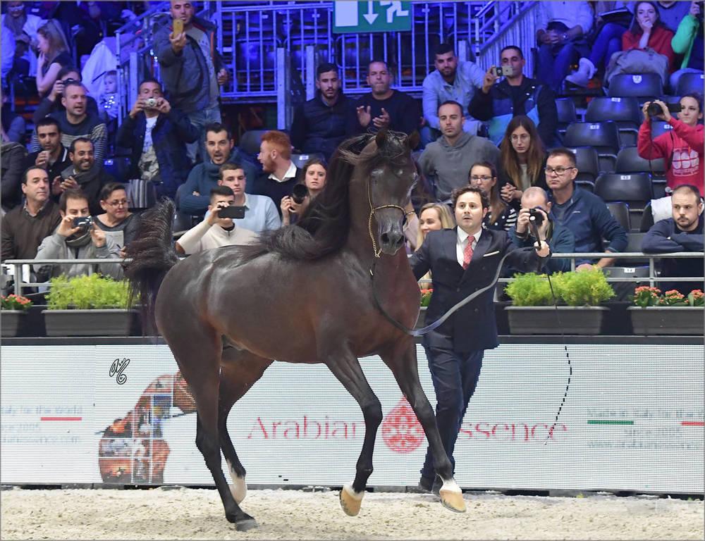 Gold Champion Senior Male: Wadee Al Shaqab (Marwan Al Shaqab X OFW Mishaahl)