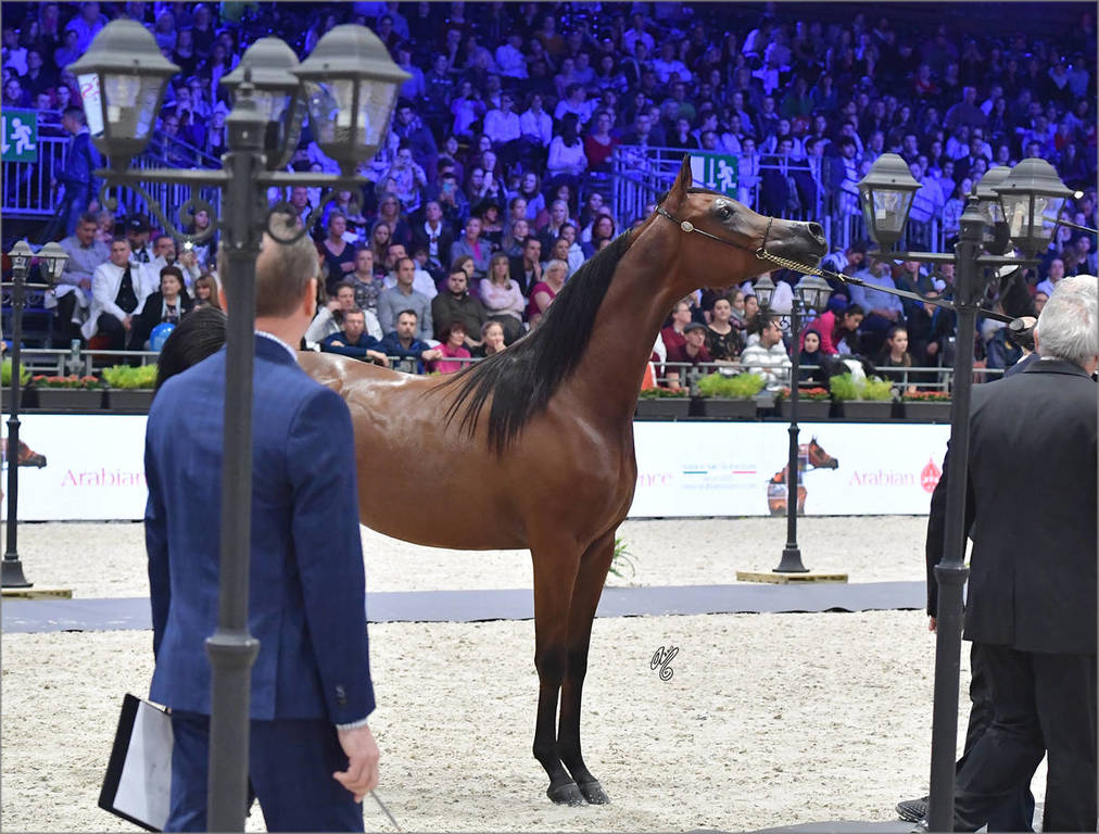 Silver Champion Yearling Female: Seranza (Kanz Albidayer X Evening Serenade)