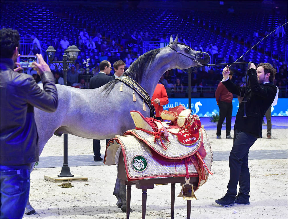 Gold Champion Yearling Male: Figaro (Wadee Al Shaqab X Shirin By Aisha)