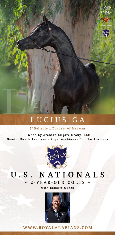 Lucius Ga With Rodolfo Guzzo Arabian Horses Stallions Farms Arabians Horses For Sale Arabian Horse Network