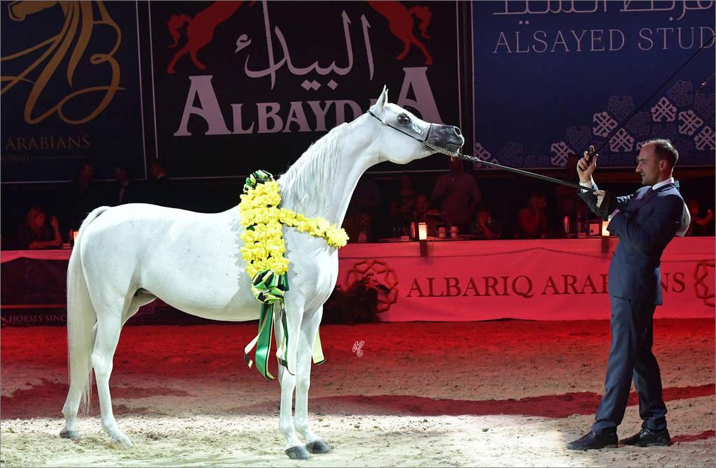 Senior Mare Gold Champion: Rihab Al Nasser (Marwan Al Shaqab X Remal Al Nasser)