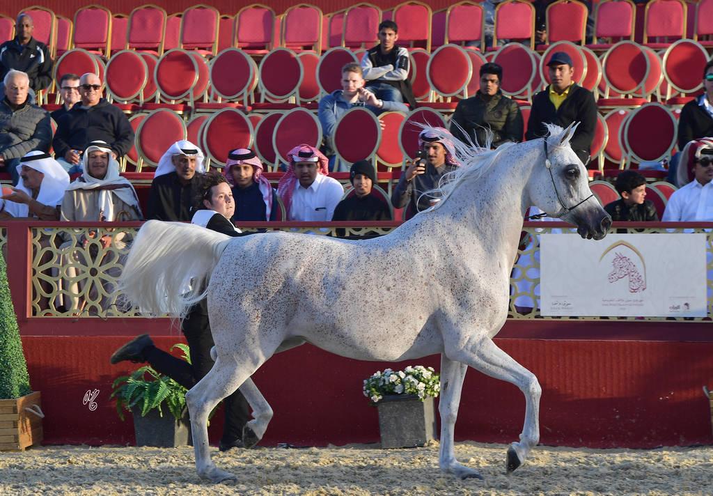Open Senior Mare Silver Champion:  Thamamah Al Shaqab (Gazal Al Shaqab X Thourayah Al Shaqab)
