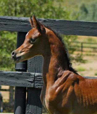 Ever After Filly sells to Al Shahania