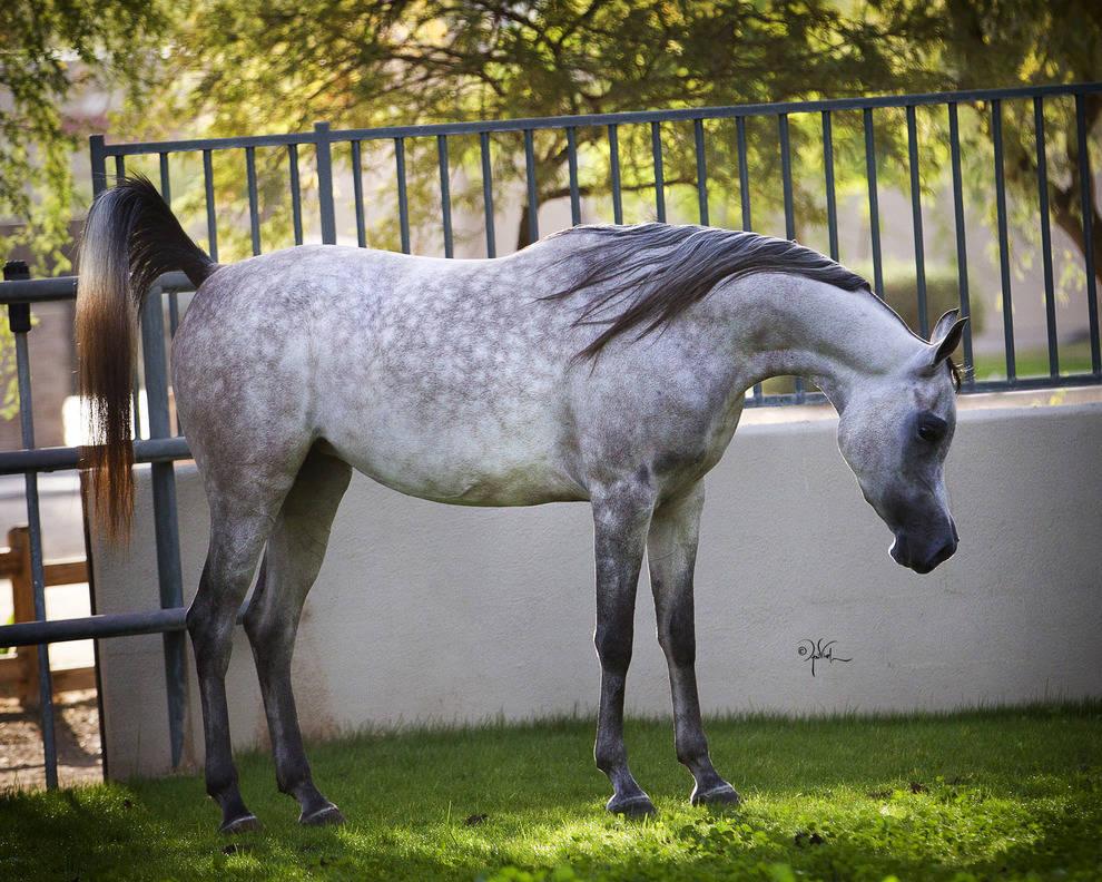 Arabian Expressions Greg Knowles Arabian Horses