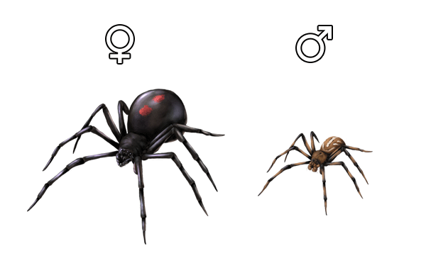 Black widow anatomy