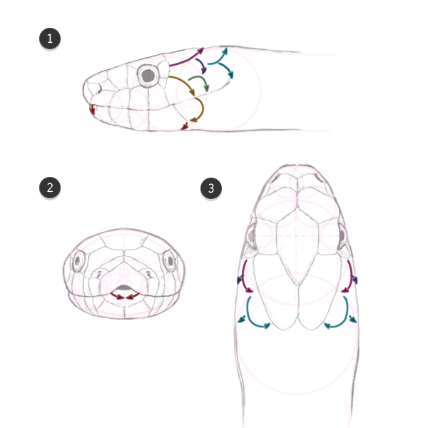 direction of neck scales