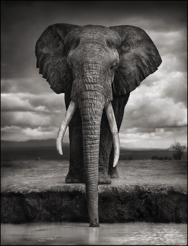 Elephant Drinking, Amboseli 2007. Killed by Poachers, 2009