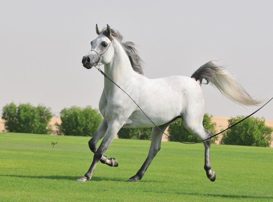 Arabian Horse Images Rare horse look...