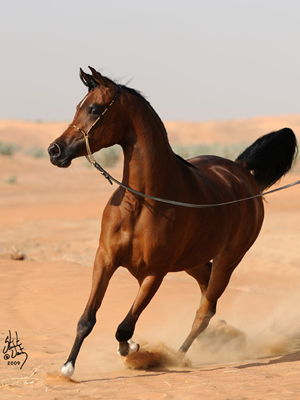 Angeliccah Dubai Arabian Horse Stud