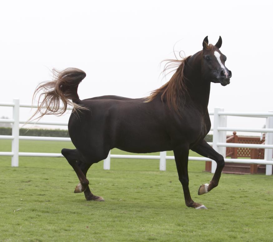 Al Com Mobile >> D Khattaf :: Dubai Arabian Horse Stud