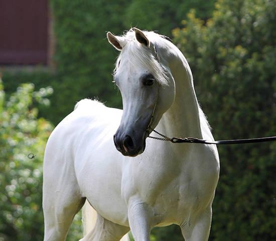 RL Artique :: Arabian Horses of Stonewall Farm