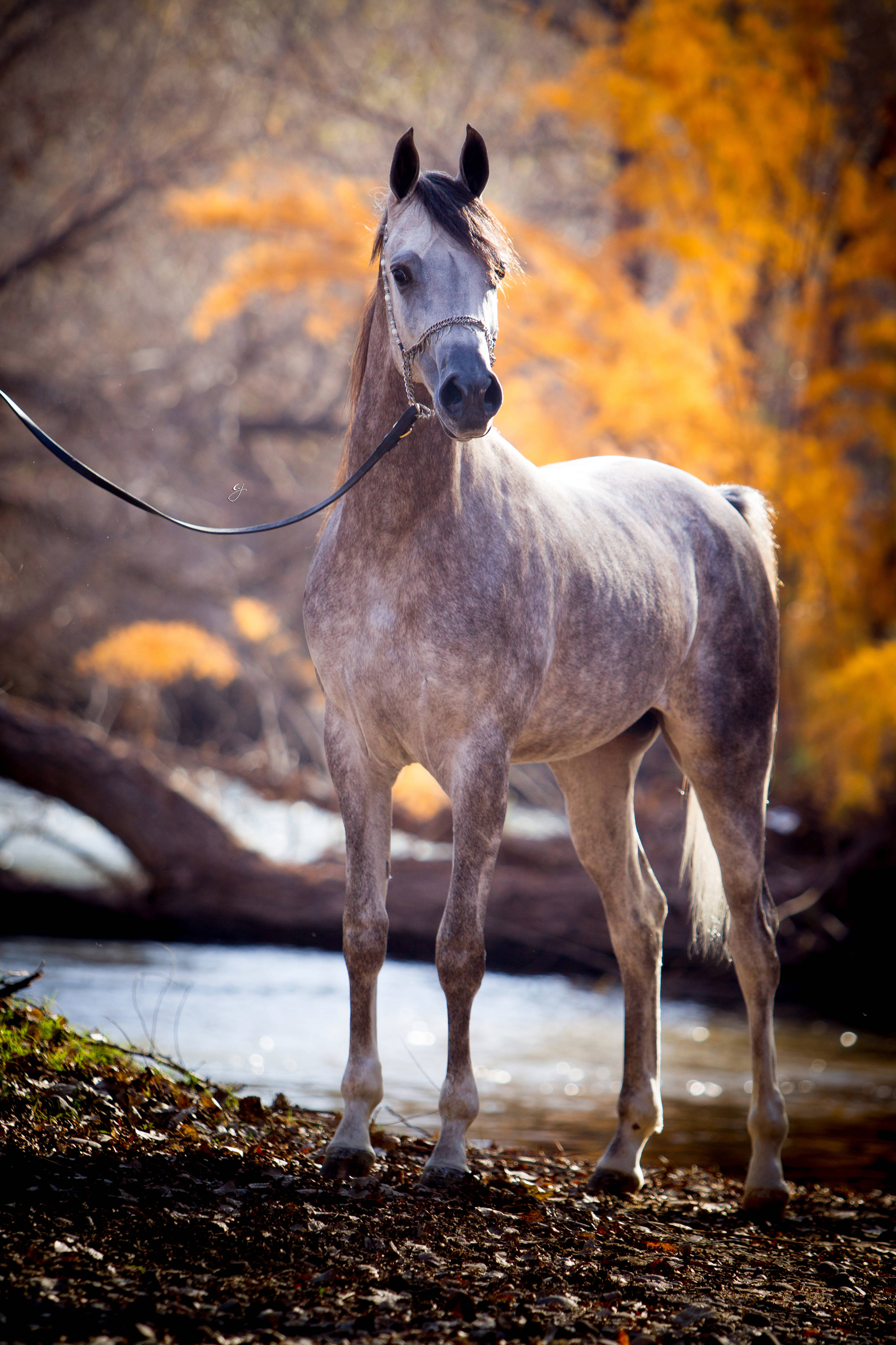 Khalif Swf Arabian Horses Of Stonewall Farm
