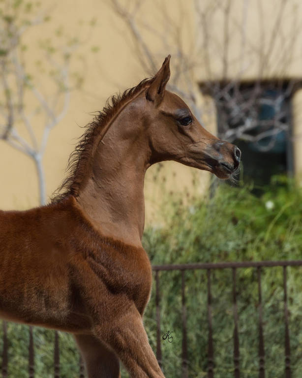 Leonidas SWF as a weanling