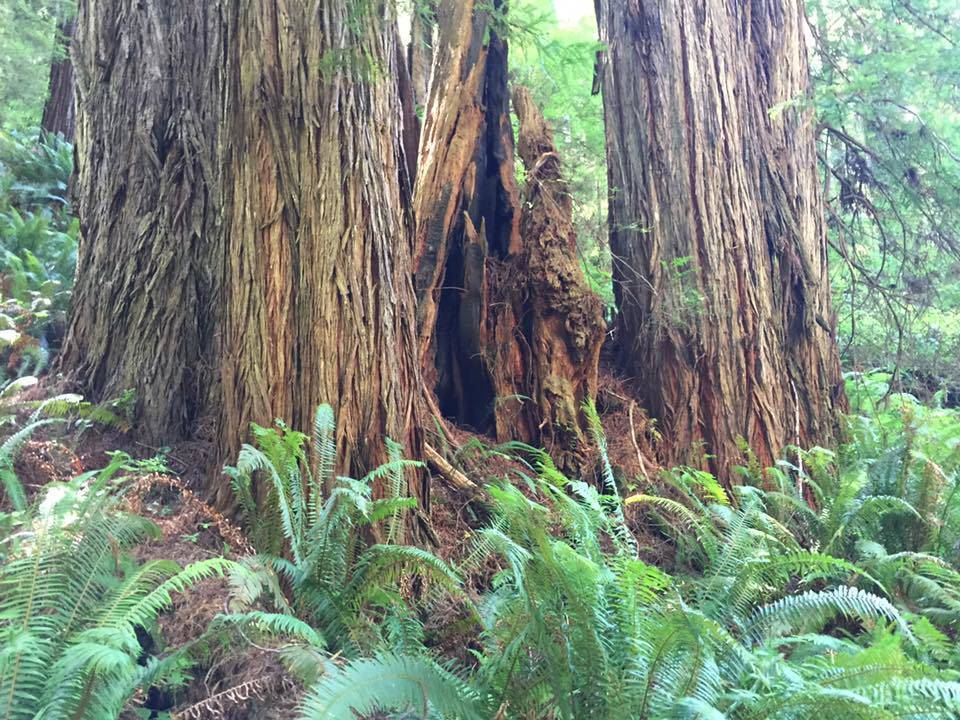 Trees of Mystery, Redwood Forest