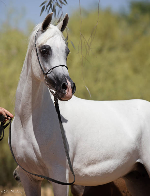 Jude SWF as a five-year-old mare
