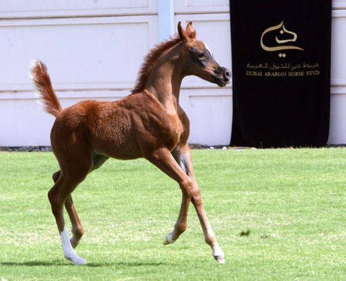 A Shadow filly