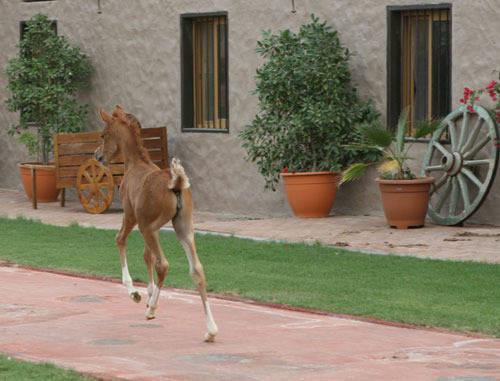 A beautiful foal at Ajman Stud