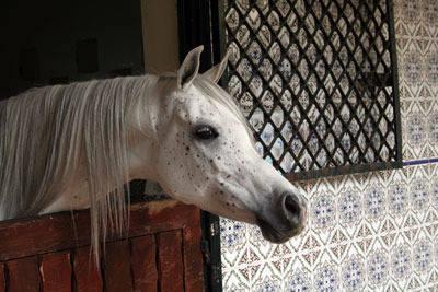 The exquisite mare Noora (AK El Sennari x SN Wasama)